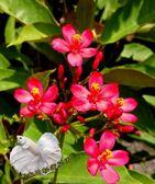 日日櫻盆栽室外植物5 6 吋活體花卉盆栽送禮小品盆栽