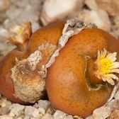 CARMO橙色毛漢尼肉錐種子(10顆裝) 多肉植物種子【E24-1】
