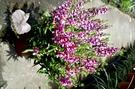 [粉色天使花盆栽] 5吋盆 活體室外植物 開花植物盆栽