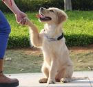 中型大型犬狗狗金毛拉布拉多遛狗繩子項圈狗錬子P錬牽引繩帶用品「摩登大道」