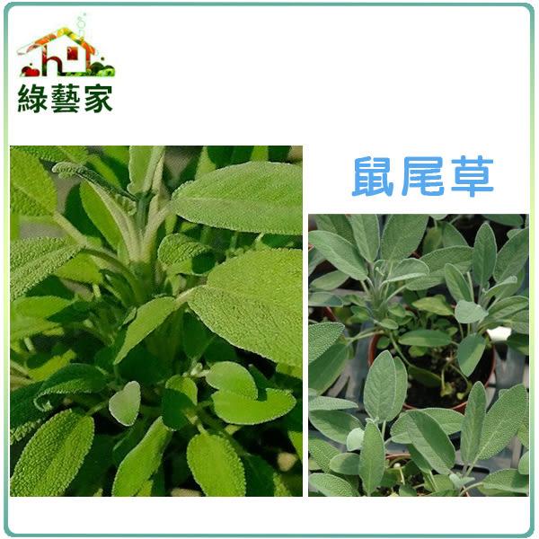 【綠藝家】大包裝K16.鼠尾草種子5克(約500顆)