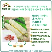 【綠藝家】大包裝G59.白龍王2號水果玉米種子25克(約210顆)(北海道牛奶水果玉米種子)