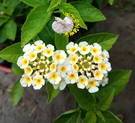 [白色或粉白色 馬櫻丹] 5-6吋 多年生室外植物活體盆栽 觀賞花卉盆栽 越熱越會開花