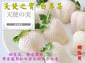 尚未開花結果 [ 天使之實白草莓盆栽 ] 5寸盆 新品種草莓苗~季節限定~ 先確認有沒有貨再下標!