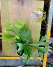 [懸掛式 冠亞鹿角蕨木板盆栽] 室外植物...