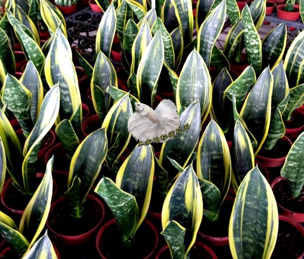 活體 [黃金虎尾蘭 黃金虎皮蘭] 室內植物 3吋盆栽 送禮小品盆栽 可淨化空氣