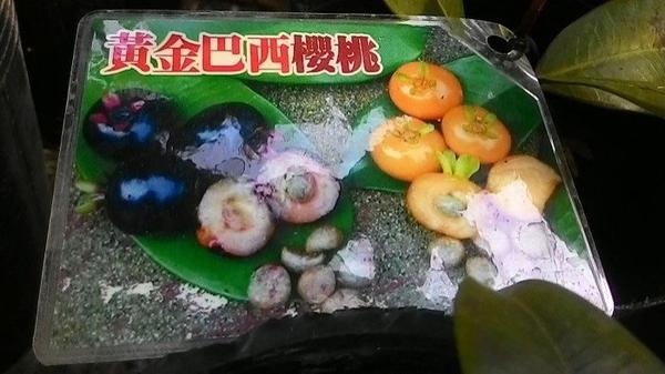 水果苗 ** 黃金巴西櫻桃 ** 4.5吋盆/高20-30cm/果大味甜【花花世界玫瑰園】R
