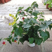 矮 [紅色燈籠花] 5吋盆 多年生活體開花植物 花卉盆栽 送禮盆栽 過年盆栽