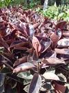 花花世界_喬木植物--彩色橡膠樹(紅)--**葉片特殊**/1尺盆/高90CM/TC