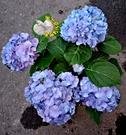 [藍色/藍紫色繡球花盆栽] 6寸盆 多年...