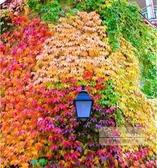 花卉種子 爬山虎種孑種子爬藤植物四季爬山虎苗籽室內小葉三葉戶外紅葉盆栽-三山一舍
