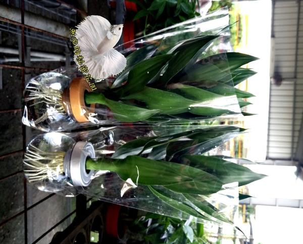 水耕植物盆栽 [蓮花竹 開運竹 富貴竹] 室內室外皆可 可祭祀