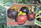 花花世界_水果苗--大果馬士特山竹--果肉甜美多汁/4吋盆/30-40cm/Ts