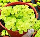 [黃金圓葉景天] 活體多肉植物 3吋多肉植栽 組合盆栽 半日照佳 送禮首選小盆栽