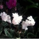 花花世界_季節花卉--仙客來(不挑色)--**養護特別容易**/5吋盆/高10-25CM/TC