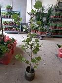 花花世界_水果苗--海葡萄樹-闊心形,淡香味/8吋/高約120cm/TP