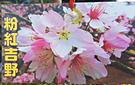 [粉紅吉野櫻] 櫻花苗 小櫻花樹苗 4寸黑軟盆 室外多年生觀賞花卉盆栽 換大盆或種地上快開花