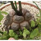 CARMO南非龜甲龍塊根種子(5顆裝) 多肉種子【G23】