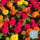 CARMO矮杆波斯菊種子 園藝種子(200顆) 【FR0044】