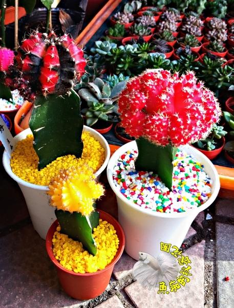 [紅黑色 大緋牡丹仙人掌] 3.5吋盆 室外植物活體盆栽 嫁接仙人掌 半日照佳
