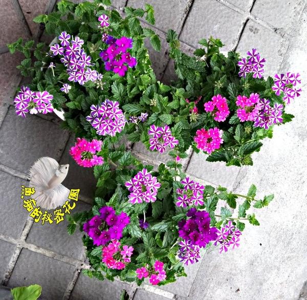 [ 雙色或多色 細裂美女櫻 ] 活體室外植物 5吋盆 開花植物盆栽