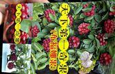 天下第一奇果[布福娜果小苗] 5寸盆 室外多年生果樹盆栽 種地上才會比較快結果