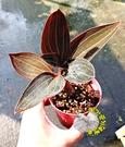 [金線蓮盆栽] 3寸盆 多年生觀葉植物盆栽 送禮小品盆栽 半日照佳