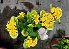 [黃色仙丹盆栽] 5吋盆 活體室外植物 ...