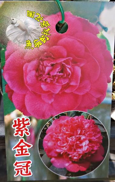[紫金冠茶花苗] 3吋 新品種觀賞茶花盆栽 活體花卉盆栽 半日照 需換盆才會比較快開花