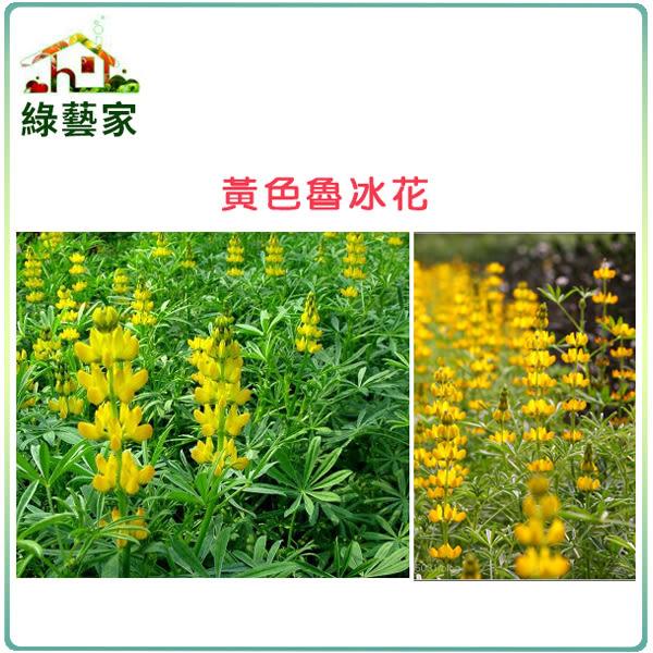 【綠藝家】大包裝H10.魯冰花(黃花)種子350顆
