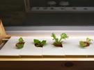 六個月菜苗包 菜苗 好收成 蔬菜架  LED燈 植物栽培種植箱 水耕種植  客廳農場 有機蔬菜輕鬆種