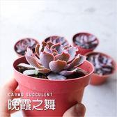 〔紫美人捲葉〕CARMO晚霞之舞多肉植物成株(3吋)【Z0121】