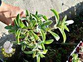 [韓國左手香 倒手香 一抹香] 3寸盆 活體多肉植物 香草植物盆栽 室外半日照佳
