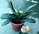 [君子蘭盆栽] 6吋盆活體盆栽 室內植物...