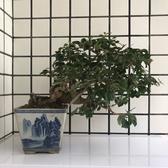明陽盆栽園*【九重葛(懸崖.露根)】樹高24*左右30*幹徑8cm 小品盆景
