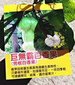 [巨無霸百香果 男根百香果] 5吋盆 活體果樹盆栽 送禮小品盆栽