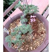 ⓒ黑皮月界種子(1顆裝) 進口多肉植物種子 稀有塊根種子【B16】