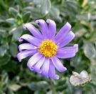 [斑葉藍瑪格麗特 藍紫色小雛菊盆栽] 5...