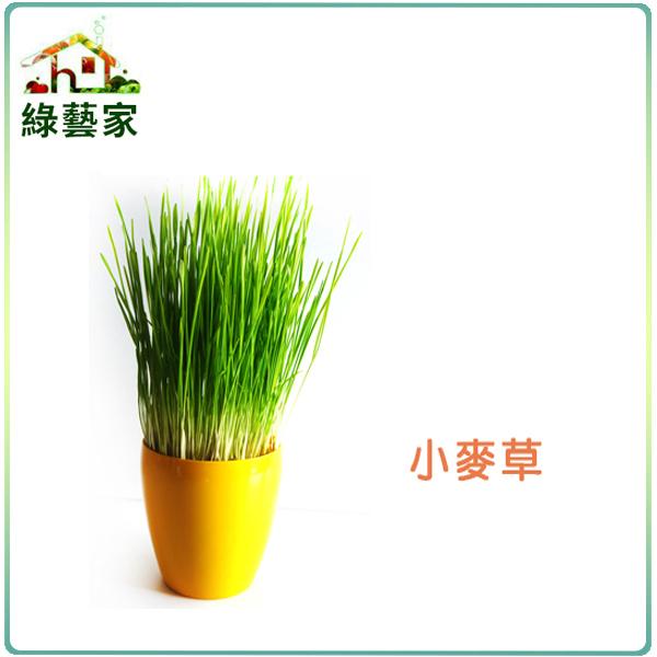 【綠藝家】J04.小麥草種子40克