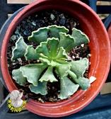 [天章]  活體多肉植物 3吋多肉植栽 組合盆栽 半日照佳 送禮首選小盆栽