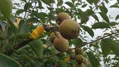 [苗栗]採果體驗-荳媽媽休閒果園(梨子、番茄)