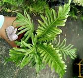 活體 [美人蕨] 室內植物 3吋盆栽 送禮小品盆栽 可淨化空氣