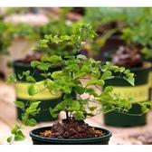 X墨西哥龜甲龍種子 (5顆裝)  進口多肉植物種子 塊根種子【B11】
