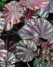 花花世界__室內植物--糖果海棠--花色鮮艷/5吋盆/高10-20cm/Ts