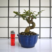 明陽盆栽園*【金豆柑】樹高13*左右15*幹徑3.5cm 小品盆景 觀賞價值高 易開花結果