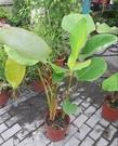 花花世界_觀葉植物--*雪茄竹芋*--體態高大/8吋盆/高60-90公分/Ts