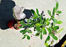 [大神秘果盆栽] 5-6吋盆活體香草植物盆栽, 可食用可泡茶