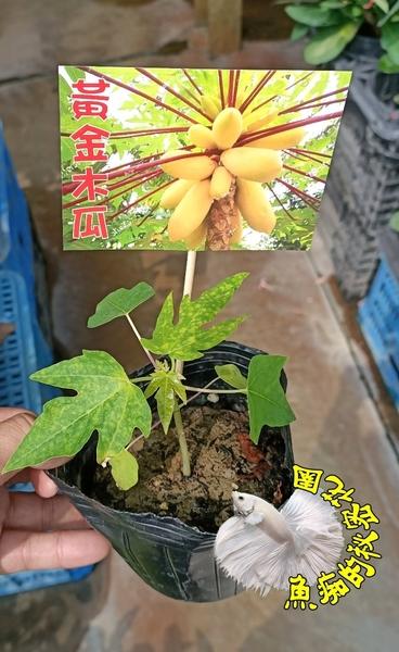3吋盆 [黃金木瓜盆栽 黃金木瓜苗] 最新品種木瓜~  半日照佳. 要買幾盆先詢問有沒有貨!