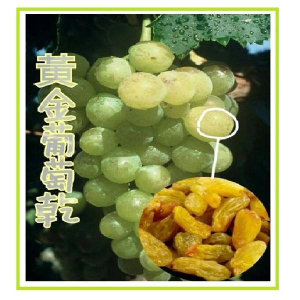 黃金葡萄乾 /黃金大葡萄乾/600g
