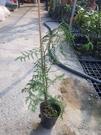 花花世界_喬木植物--紅檜--**國寶級樹種**/4吋盆/高20~30CM/TC